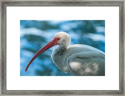 Wild Eyed Ibis Framed Print