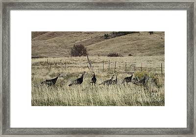 Wild Turkeys Framed Print
