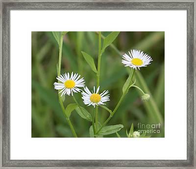 Wild Flower Sunny Side Up Framed Print