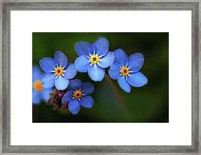 Wild Flower Forget-me-not Since The Middle Ages Symbolizes The Celestial Eye And Reminds You Of God Framed Print