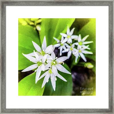 Allium Ursinum Framed Print