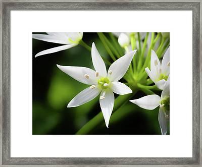 Wild Garlic Flower Framed Print