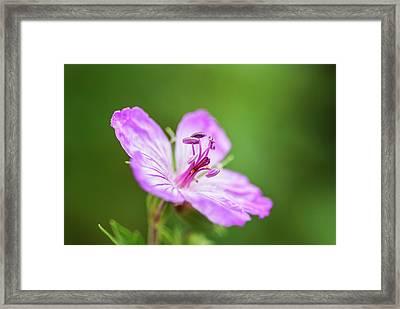 Wild Geranium Framed Print by Vishwanath Bhat