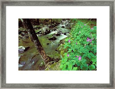 Wild Geraniums On Bradley Fork Framed Print by Alan Lenk
