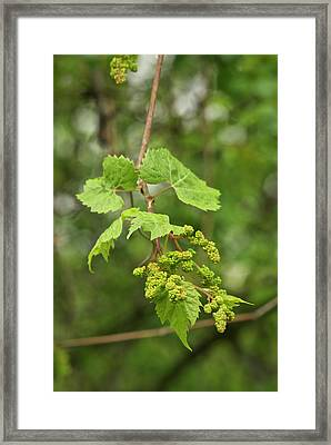 Wild Grapes 1992 Framed Print by Michael Peychich