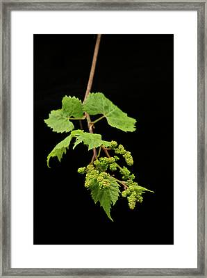 Wild Grapes 1995 Framed Print by Michael Peychich
