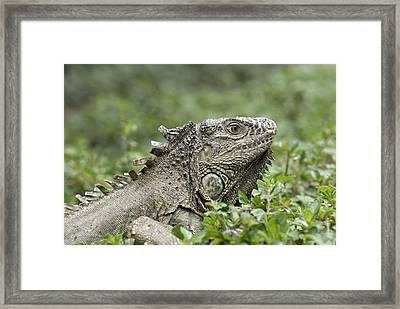 Wild Green Iguana Iguana Iguana At Los Framed Print
