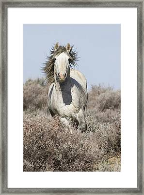 Wild Grey Stallion Runs Close Framed Print by Carol Walker