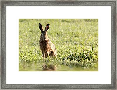 Wild Hare Sat Next To Water Framed Print