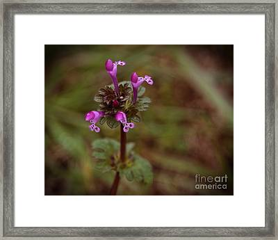 Wild Henbit Flower Loganville Georgia Framed Print