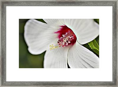 Wild Hibiscus Moscheutos_2a Framed Print