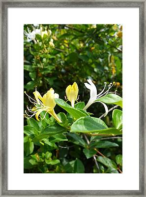 Framed Print featuring the photograph Wild Honeysuckles by Deb Martin-Webster