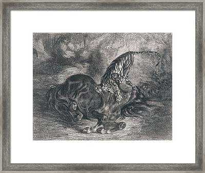 Wild Horse Felled By A Tiger Framed Print