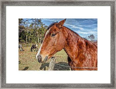 Wild Horse In Smoky Mountain National Park Framed Print by Peter Ciro