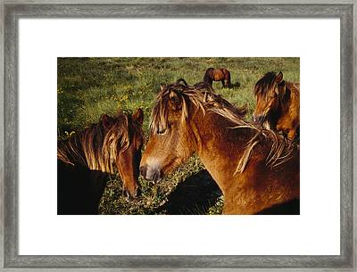 Wild Horses On Sable Island Framed Print by Justin Guariglia
