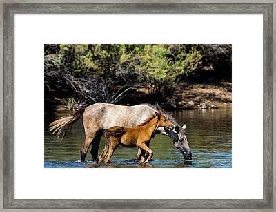 Wild Horses On The Salt River Framed Print