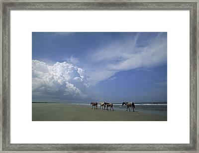 Wild Horses Roaming A Georgia Coast Framed Print by Michael Melford