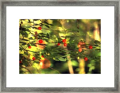 Wild Huckleberries On The Bush Framed Print by Lyle Leduc