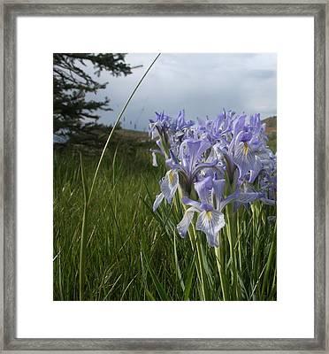 Wild Iris II Framed Print by Susan Pedrini