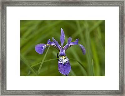 Wild Iris Framed Print by Steve Kenney