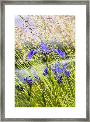 Wild Irises Framed Print by Marty Saccone