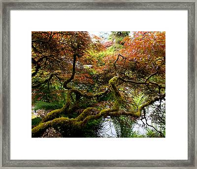 Wild Japanese Maple Framed Print by Sonja Anderson