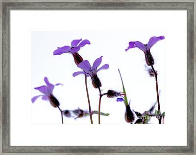 Wild Knotted Cranesbill Framed Print