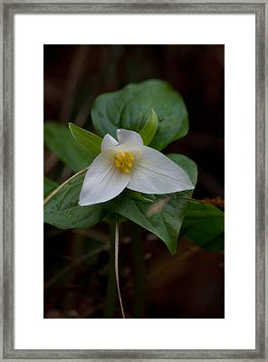 Wild Lily Framed Print