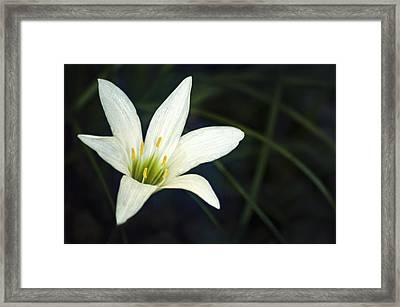 Wild Lily Framed Print by Carolyn Marshall