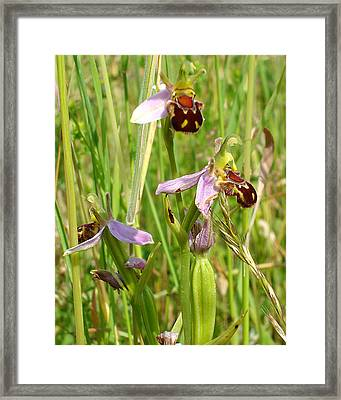 Wild Meadow Bee Orchids Framed Print