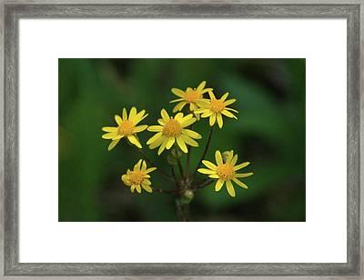Framed Print featuring the photograph Wild Meadow Daisies by LeeAnn McLaneGoetz McLaneGoetzStudioLLCcom