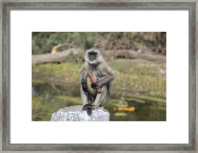 wild monkey in Rajasthan - India Framed Print