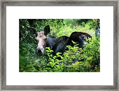Wild Moose Framed Print by Dan Pearce