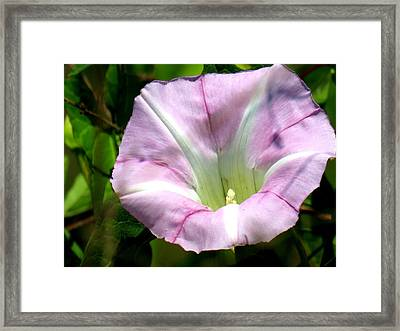 Framed Print featuring the photograph Wild Morning Glory by Eric Switzer