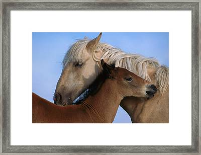 Wild Mustang Filly And Foal Framed Print