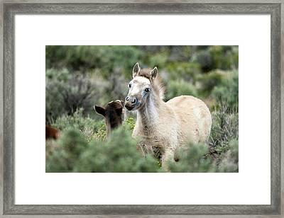 Wild Mustang Foals Framed Print