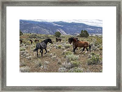 Wild Mustang Stallions Fighting Framed Print