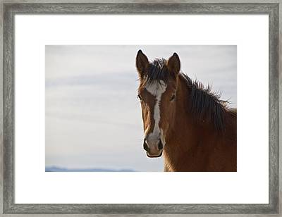 Wild Mustang Yearling Framed Print