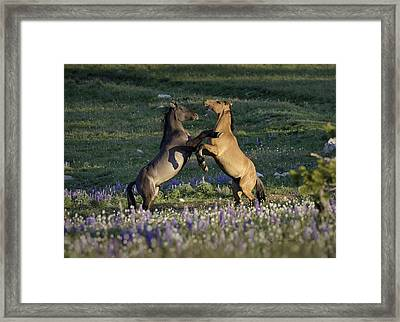 Wild Mustangs Playing 1 Framed Print