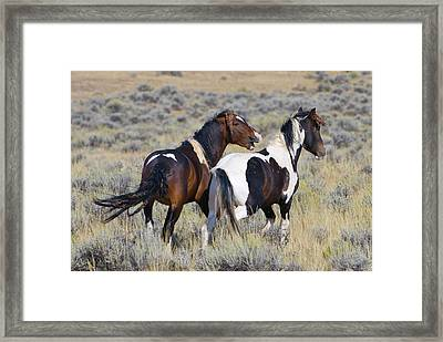 Wild Mustangs Playing Framed Print