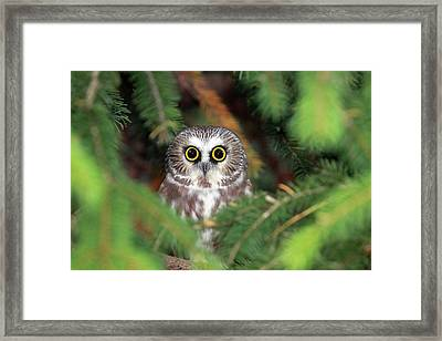 Wild Northern Saw-whet Owl Framed Print by Mlorenzphotography