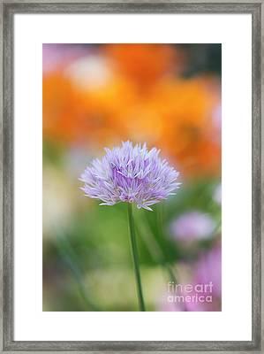 Wild Onion Flower Framed Print by Tim Gainey