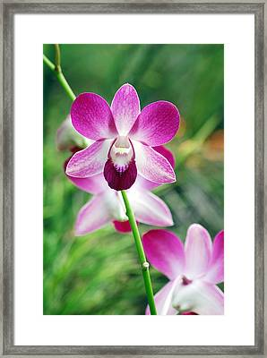 Wild Orchids Framed Print by Michael Peychich