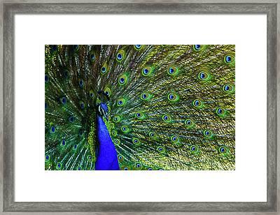 Wild Peacock Framed Print