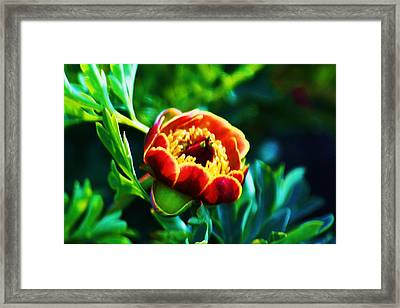Wild Peony Framed Print by Russell  Barton