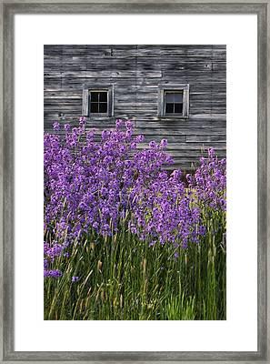 Wild Phlox - Windows - Old Barn Framed Print by Nikolyn McDonald