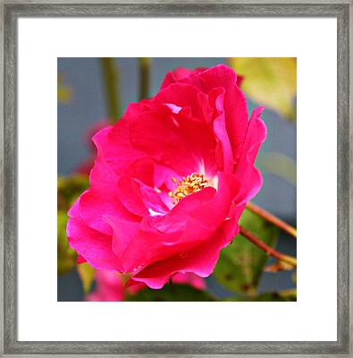 Wild Pink Rose Framed Print by Cathie Tyler