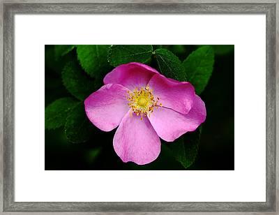 Wild Pink Rose Framed Print