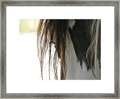 Wild Pinto Mustang Framed Print