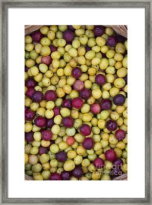 Wild Plum Harvest  Framed Print